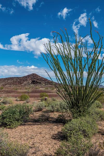 Ocotilla, Fouquieria splendens (Fouquieriaceae). Pinacate Lava Flow, Cabeza Prieta National Wildlife Refuge, Yuma County Arizona USA