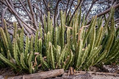 Stapelia hirsuta (Gentianales, Apocynaceae). Cultivar escape in yard growing under jojoba bushes. Tucson, AZ USA