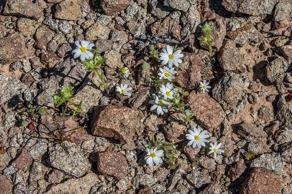 Mojave desert star, Monoptilon bellioides (Asteraceae). El Camino Del Diablo, Barry Goldwater Range & Cabeza Prieta, Yuma County Arizona USA