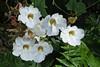 White Lillys Dry Brush DSCF0636_1280web