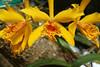 Yellow Orchid 2DSCF0753_1280web