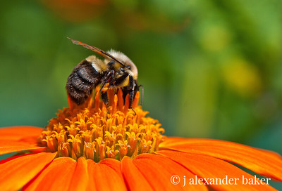Bee on Mexican Sun Flower