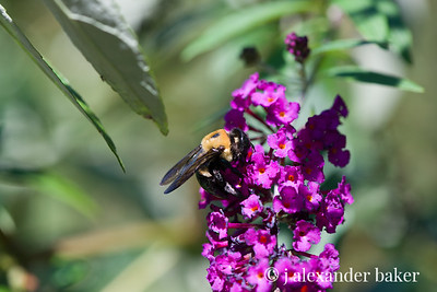 Bumble Bee on Butterfly bush - Test export of full size jpeg from NEF raw original with lens correction for Nikon 105mm Micro - I can't see any real difference in the lens correction for this lens though.