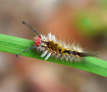 Tussock Moth caterpillar_041