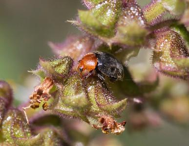 Mealybug Ladybird - 4744