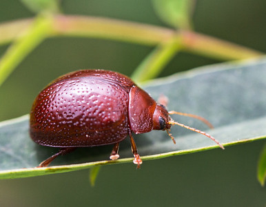 Acacia Leaf beetle - 138