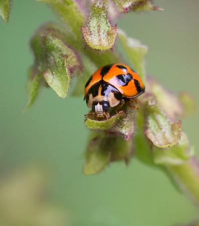 Variable Ladybird beetle - 4065