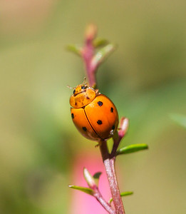 Variable Ladybird_078