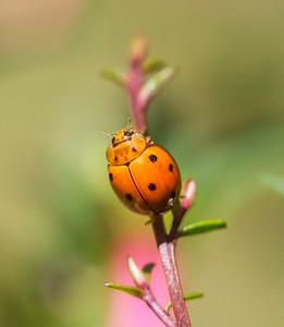 Variable Ladybird_078