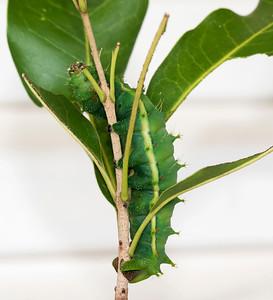 Moth Caterpillar - 2900