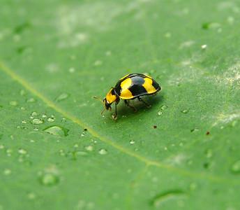Fungus-eating Ladybird - 023