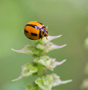 Ladybird - 4231