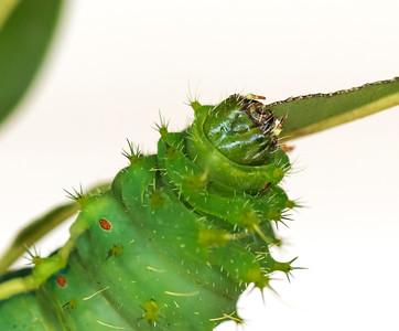 Moth Caterpillar - 2926