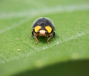 Yellow-shouldered Ladybird - 0563