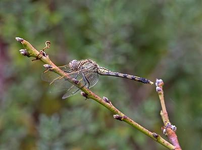 Blue Skimmer,female  - 6818