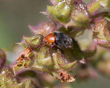 Mealybug Ladybird beetle - 4745