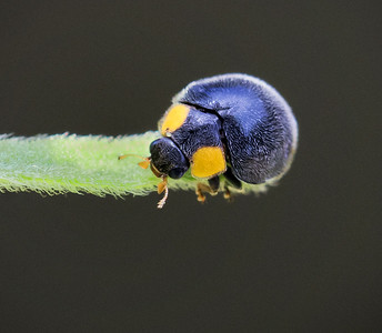 Yellow-shouldered Ladybird_6506