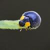 Yellow-shouldered Ladybird_6506