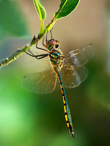 Fat-bellied Emerald dragonfly_8191
