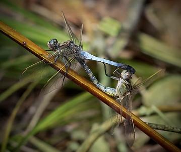 Blue-Skimmer Dragonfly_0368