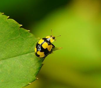 Fungus-eating Ladybird - 020