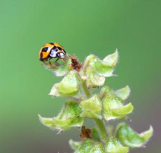 Variable Ladybird beetle - 4181