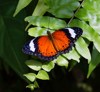 Red Lacewing_1331