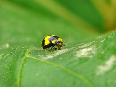 Fungus-eating Ladybird - 077