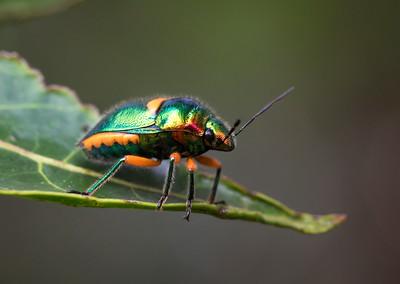 Green Jewelbug - 9509