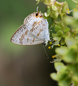 Speckled-line Blue butterfly_6088