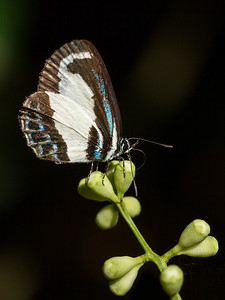Small green-banded Blue_9490