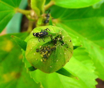 Ladybird larvae with aphid_035