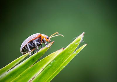 Celtis Leaf beetle -6825