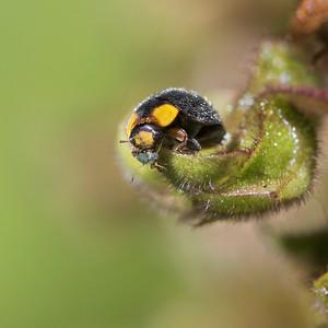 Yellow-shouldered Ladybird - 2944b