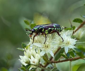 Fiddler Beetle - 0776