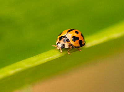 Variable Ladybird - 662