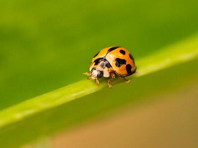 Ladybird - 662