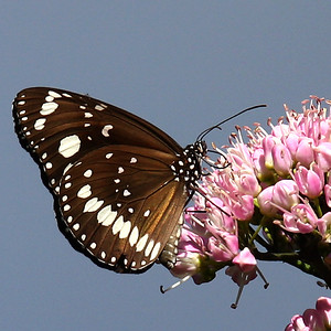 Common Crow_Euploea core