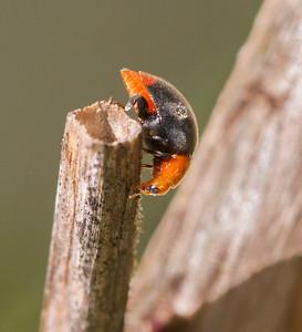 Mealybug Ladybird - 4799