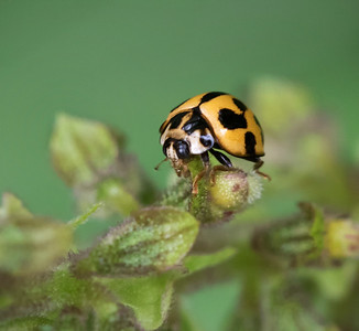 Variable Ladybird -- 0174