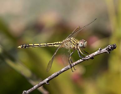 Blue Skimmer, female - 7980