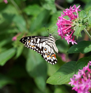 Chequered Swallowtail - 1644
