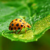 28 spotted Ladybird_044