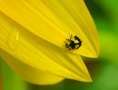 Fungus-eating Ladybird - 053