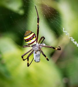 St.Andrew's Cross spider_6742