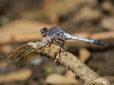 Blue Skimmer,male_5340