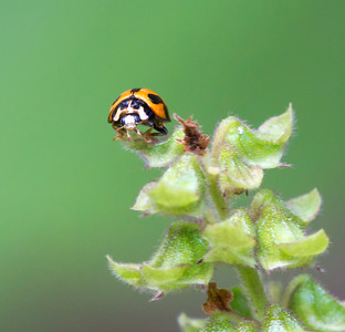 Variable Ladybird beetle - 4179