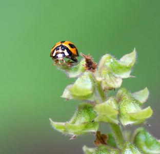 Variable Ladybird beetle - 4179