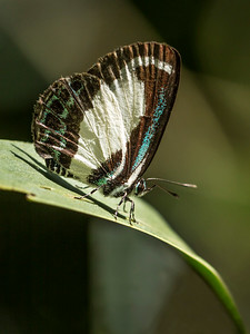 Small green banded blue_9461
