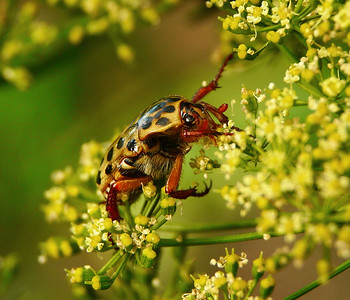 Spotted Flower Chafer - 103